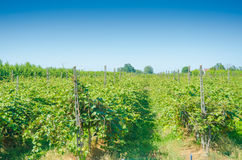 Vineyard on a bright day Royalty Free Stock Photo