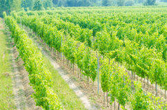 Vineyard on a bright day Stock Images