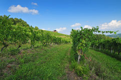 Vineyard on a bright sunny day Stock Images