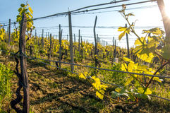 Vineyard on a bright sunny spring day Royalty Free Stock Image