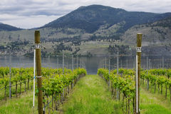 Vineyard British Columbia Okanagan. Rows of grape vines overlooking Skaha Lake in the Okanagan of BC Stock Photo