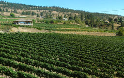 Vineyard In British Columbia Okanagan Stock Photo