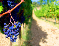 Vineyard_2. Bunch of black grapes for red wine Stock Photos