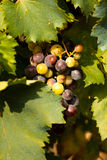 Vineyard. Bunch of grapes between the leaves of a vineyard Royalty Free Stock Photography