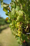 Vineyard. Bunch of green grapes in the vineyard Royalty Free Stock Photo