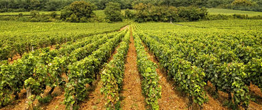 Vineyard in Burgundy Royalty Free Stock Photography