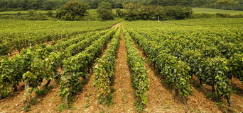 Vineyard in Burgundy Stock Images