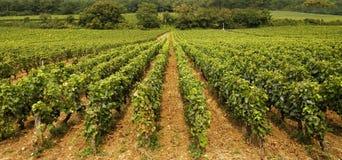 Vineyard in Burgundy Stock Images
