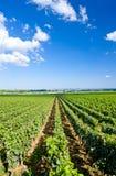 Vineyard, Burgundy Royalty Free Stock Images