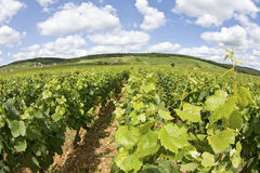 Vineyard in Burgundy. Cote de Nuits. France Royalty Free Stock Photo