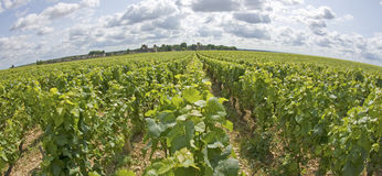 Vineyard in Burgundy. Cote de Nuits. France Royalty Free Stock Photography