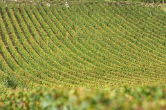 Vineyard in burgundy, france Royalty Free Stock Photo