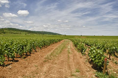 Vineyard, Burgundy. Landscape showing vineyards with access track, Burgundy, France Royalty Free Stock Images