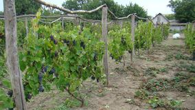 Vineyard, bushes of grapes Royalty Free Stock Photos