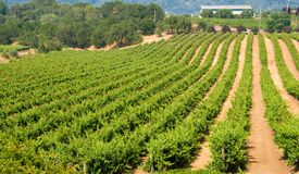 Vineyard in California Stock Image