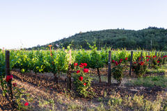 Vineyard in California Royalty Free Stock Images
