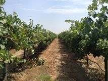Vineyard in California. A photo of wine grapes ready to be picked Stock Photography