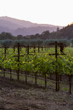 Vineyard in California Royalty Free Stock Image