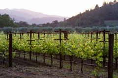 Vineyard in California Stock Image