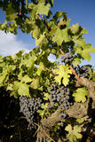 Vineyard in Camargue Stock Photography