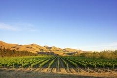 Vineyard in Canterbury, New Zealand