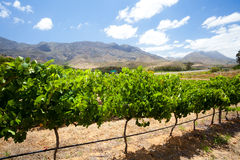 Vineyard in cape town Royalty Free Stock Photos