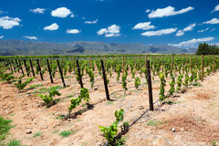 Vineyard in Cape Town Royalty Free Stock Images