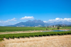 Vineyard in cape town Stock Image