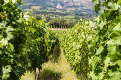 Vineyard in capetown Stock Images