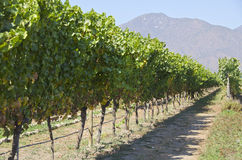 Vineyard in Casablanca Valley #3 Stock Photography