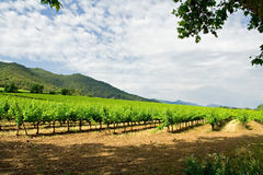 Vineyard in Catalonia. Beautiful vineyard in the countryside, Catalonia Royalty Free Stock Photography