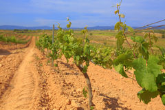 Vineyard, Catalonia, Spain. Vineyard vine field agriculture grape winery Catalonia Spain Stock Image