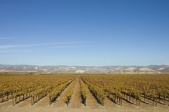 Vineyard in central California royalty free stock photography