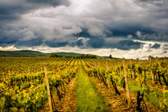 Vineyard in Central Europe Royalty Free Stock Images