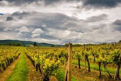 Vineyard in Central Europe Royalty Free Stock Photo