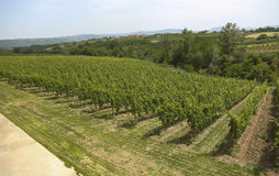 Vineyard. In the central Serbia Stock Photo