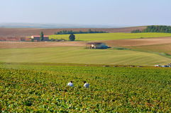 Vineyard in Champgne (France). Champagne landscape during the harvest royalty free stock photography
