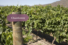 Vineyard - Chardonnay Stock Photography