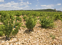 Vineyard from Chateaunef du Pape Stock Images