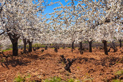 Vineyard and cherry blossoms in spring Stock Photos