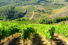 Vineyard In The Chianti stock photo