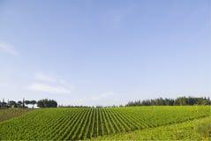 Vineyard, Chianti royalty free stock photo