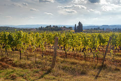 Vineyard in the Chianti area Royalty Free Stock Photo