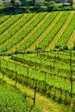 Vineyard in Chianti Royalty Free Stock Image