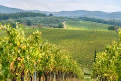 Vineyard in Chianti region in province of Siena. Tuscany. Italy. Vineyard in Chianti region in province of Siena. Tuscany landscape. Italy stock image
