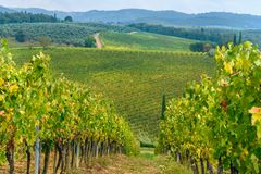 Vineyard in Chianti region in province of Siena. Tuscany. Italy. Vineyard in Chianti region in province of Siena. Tuscany landscape. Italy stock photography