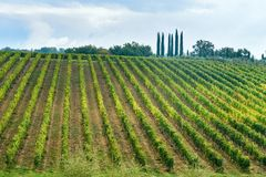Vineyard in Chianti region in province of Siena. Tuscany. Italy. Vineyard in Chianti region in province of Siena. Tuscany landscape. Italy stock images