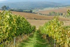 Vineyard in Chianti region in province of Siena. Tuscany. Italy. Vineyard in Chianti region in province of Siena. Tuscany landscape. Italy stock photo