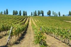 Vineyard in Chianti region. Tuscany. Italy. Vineyard in Chianti region. Tuscany landscape. Italy royalty free stock photo