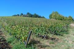 Vineyard in Chianti region. Tuscany. Italy. Vineyard in Chianti region. Tuscany landscape. Italy stock image